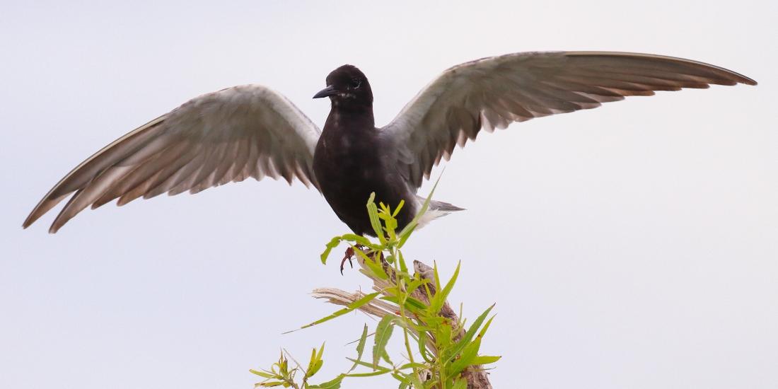 Guifette-noire-MarcRoss