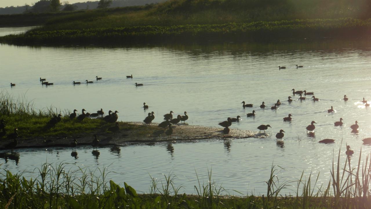 Groupe de canards grg